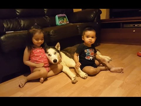 Siberian Husky Dogs Are Great With Kids.