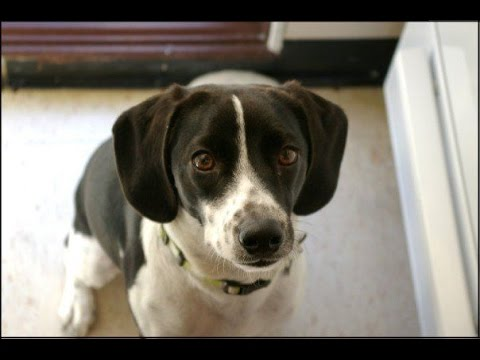Dog Training - Teaching Your Dog the Sit Command
