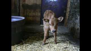 petit veau de 4 jours