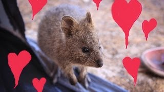Quokka falls in love with a teddy Quokka