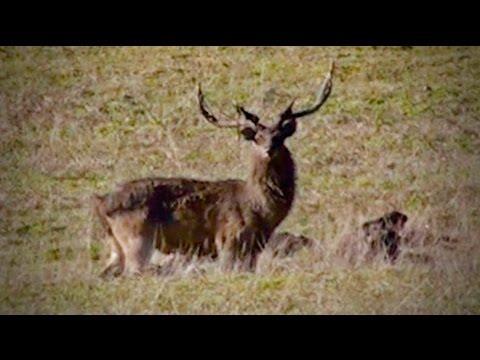 Hunting Rusa deer in New Caledonia part 55