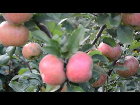 Яблоня Топаз-зимний сорт