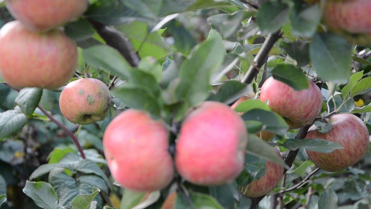 фото яблоко айдаред