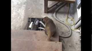 我が家の床下に住んでる子ムジナ(アナグマ)が呼び声で出てきて餌を食...