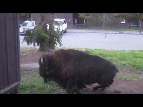 Bison pooping outside my Yellowstone Cabin