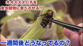 【閲覧注意】食虫植物にオオスズメバチ食べさせたら一週間後どれくらい消化してるの?
