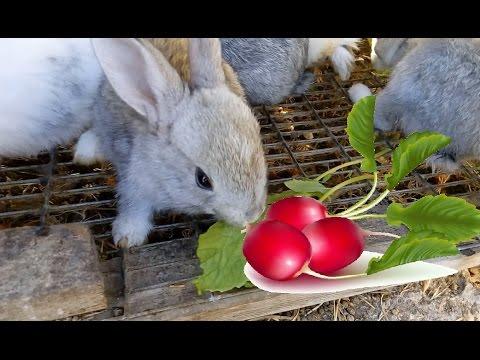 Можно ли кроликам редиску. Ботва редиски кроликам / КРОЛИКОВОДСТВО