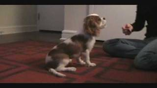 Jackson The Cavalier King Charles Spaniel Doing Tricks (almost 4 Months Old)