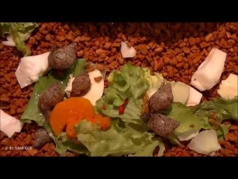 Nachwuchs Achatina fulica rodatzii