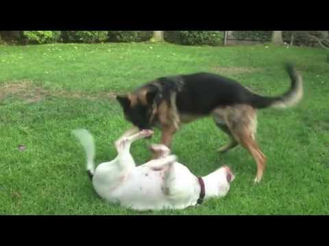 Big Dogs Playing Rough Training Video-Cutest Couple!