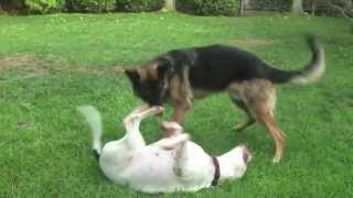 Big Dogs Playing Rough Training VideoCutest Couple!