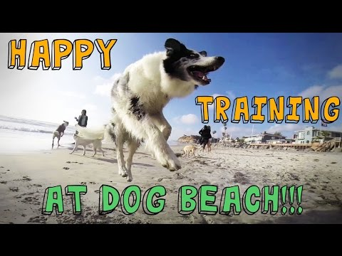 Dog Tricks and Training at DOG BEACH to Pharrell Williams 'HAPPY' song