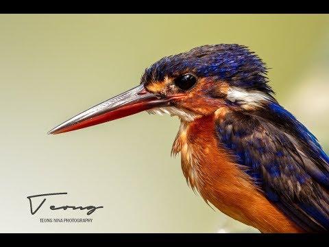 Blue-eared Kingfisher - In UHD 4K