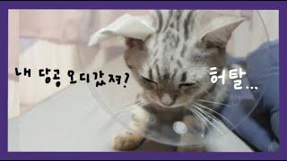 백호 랜선 병문안 같이가요 | 중성화수술 | 아메리칸 숏헤어 | 사냥왕 김백호 | cat neutralization surgery