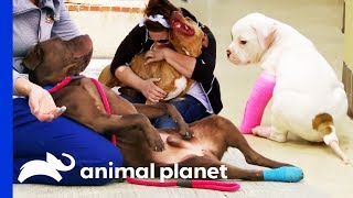 3 Of The Cutest Dog Moments Ever! | Pit Bulls & Parolees