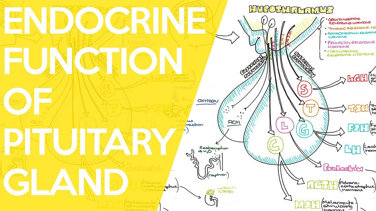 Overview Of The Endocrine Function Of The Pituitary Gland Sarah