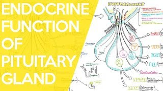 Overview of the Endocrine Function of the Pituitary Gland