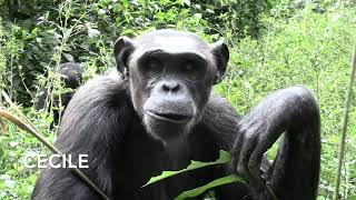 Our Chimps Love Their Wild Ginger!