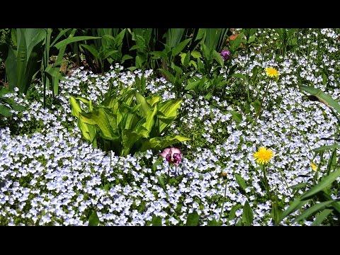 видео: Альтернатива газону - почвопокровник