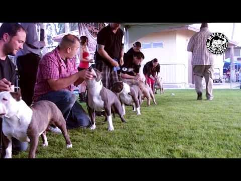 American Bully Standard Male Class Bringing The Bully Heat To Imperial Valley - ABKC Show 2014