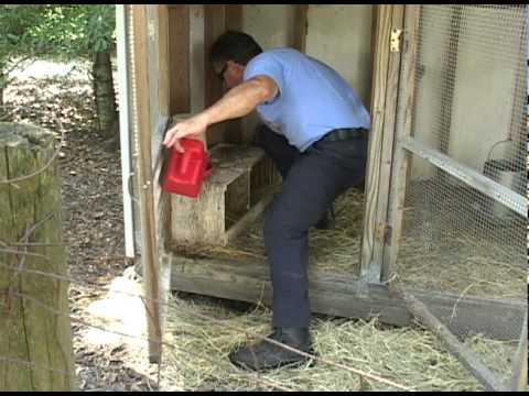 Etonnant Backyard Chicken Farming   YouTube