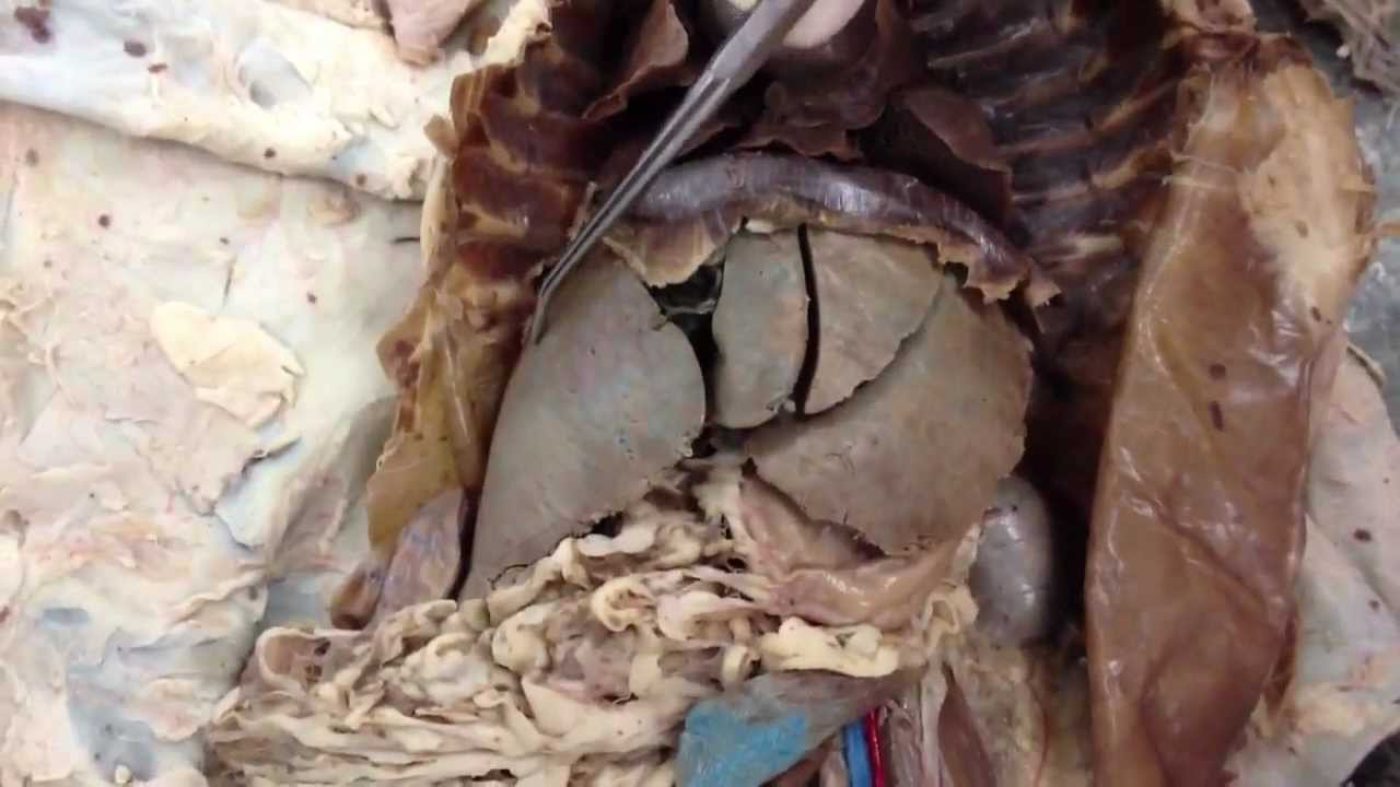 Lobes of the Lungs & Liver - YouTube