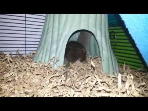 "Rat Jumps Around and ""Popcorns"""