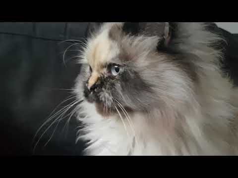 The most beautiful cat in the world, Mimi the cute Himalayan