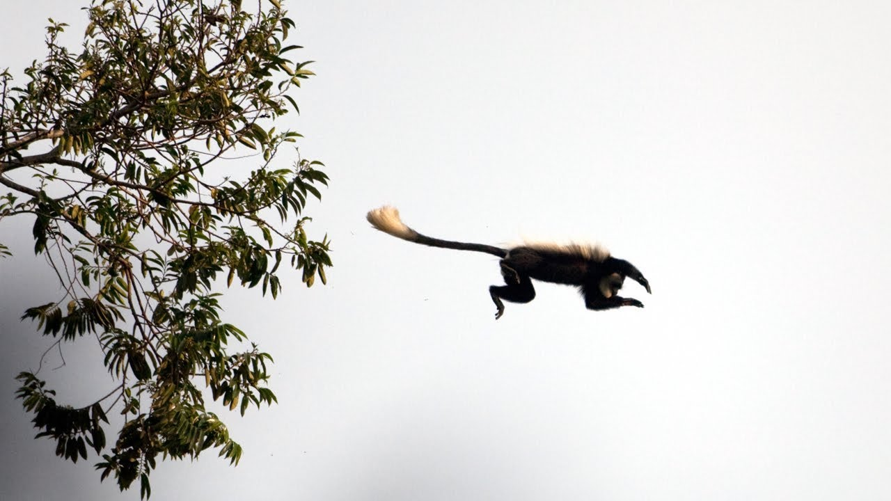 Download Eager Chimp's First Monkey Hunt | BBC Earth