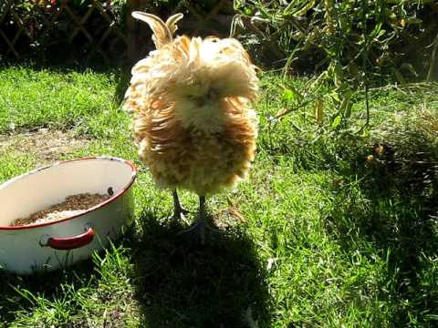 Frizzle Chicken & Friends
