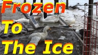 Season 3 & The Geese Are Causing Problems #1 Wintering Ducks & Geese
