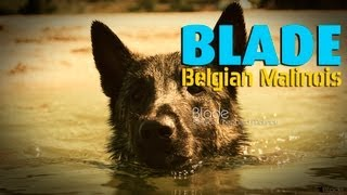 Dog Training: Belgian Shepherd Malinois Swimming