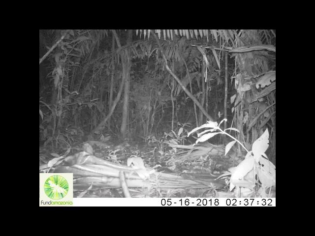 Ocelot   Leopardus pardalis21