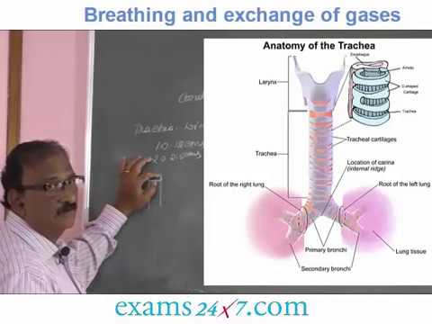 NEET BIOLOGY - BREATHING AND EXCHANGE OF GASES Video-3