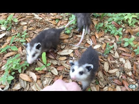Baby Opossums Come Running When Called