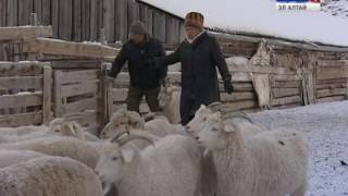 В РА создана новая порода коз - Алтайская белая пуховая