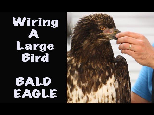 Wiring a Large Bird. Bald eagle Taxidermy. Art of Taxidermy