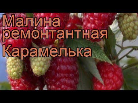 Малина ремонтантная Карамелька (rubus idaeus) 🌿 обзор: как сажать, саженцы малины Карамелька