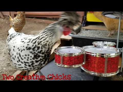 Punk Rock Chicken Plays Drum Solo