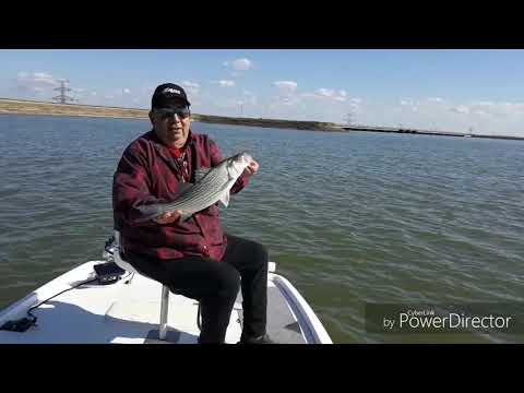 Hybrid Striper Fishing On Richland Chambers With Capt. Rob