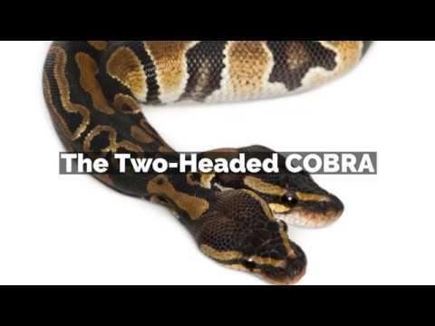 The Two-Headed COBRA