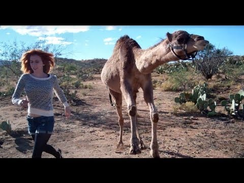 Camel vs Girl (in race!)