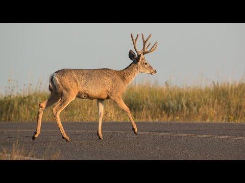 Car-Deer Collisions - NDGNF