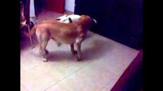 Labrador Retriever Y Cachorrita De Pitbull Jugando (labrador Retriever And Baby Of Pitbull Playing)