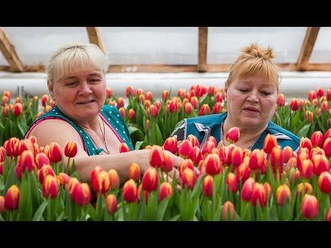 Цветы по уникальной голландской технологии в белорусских теплицах