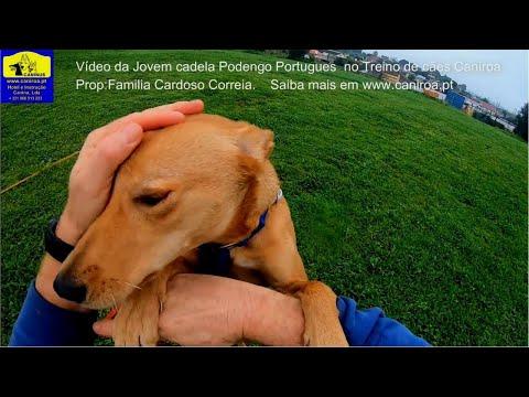 Vídeo da Jovem Cadela Podengo Português no Treino de cães Caniroa