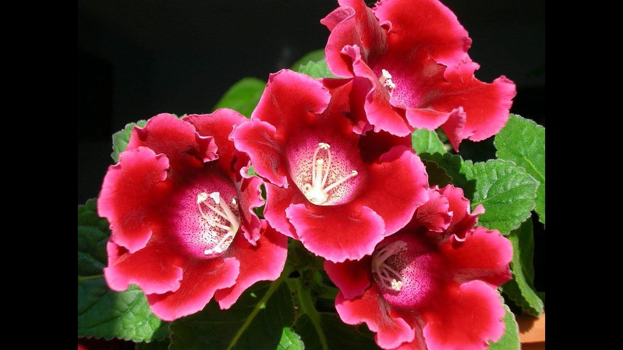 Комнатные цветы - ГЛОКСИНИЯ. Выращивание, уход и ...