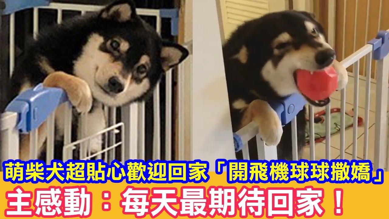 萌柴犬超貼心歡迎回家「開飛機燦笑撒嬌」主感動:每天最期待回家!|狗狗故事