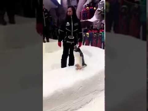 Penguin (Peter) Ski Dubai
