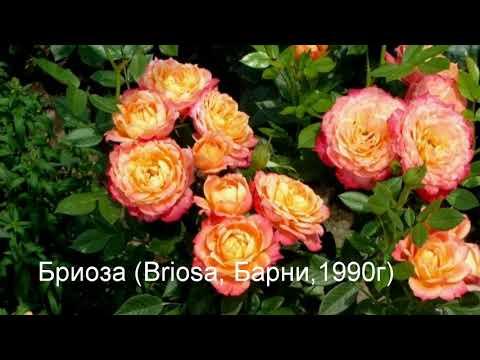 Топ 20!Флорибунда что это такое! 20 лучших сортов роз группы флорибунда!